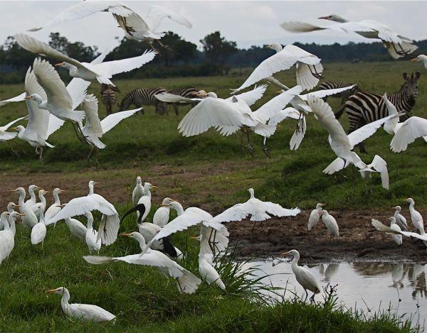 Little Egrets with Burchell's zebras, Kenya