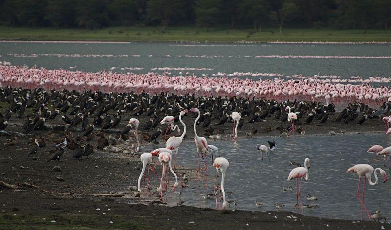 Flamingos near Naivasha, Kenya