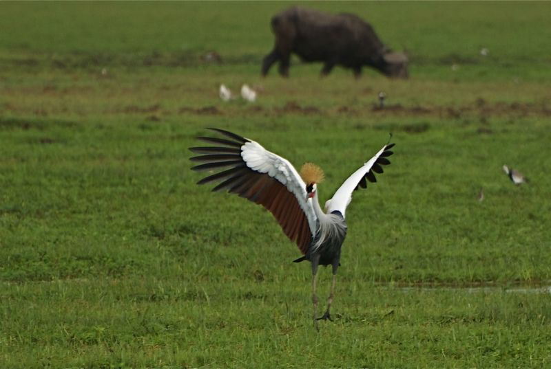 Male crowned crane at Amboseli NP, Kenya