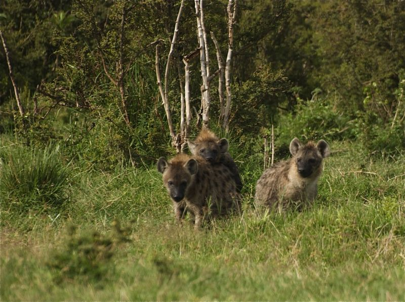 Three young hyenas in the Masai Mara