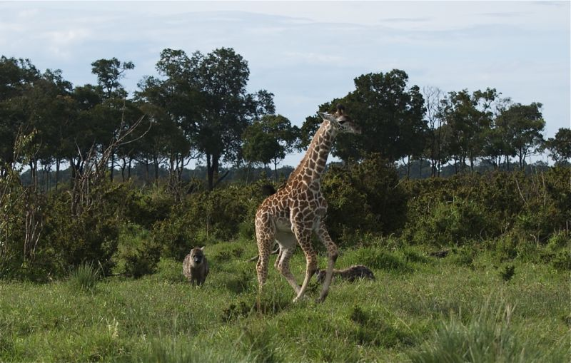 Young hyenas stage a mock chase of a baby giraffe