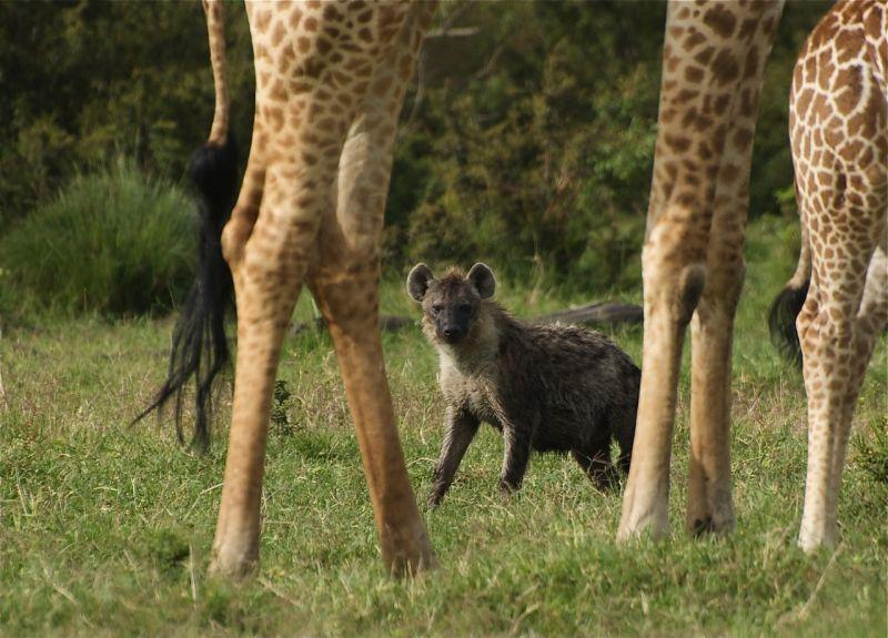 Hyenas and giraffes, Kenya, Africa