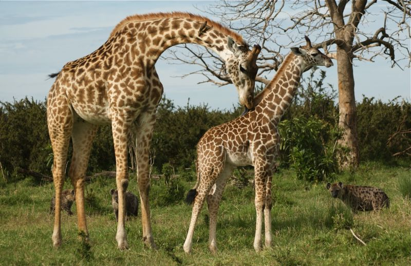 Mother and baby giraffe with hyenas
