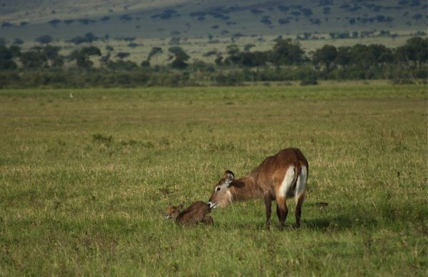 Female waterbuck with a new baby