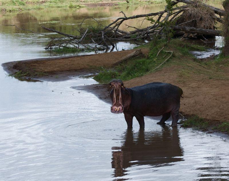 Hippo in the Mara River