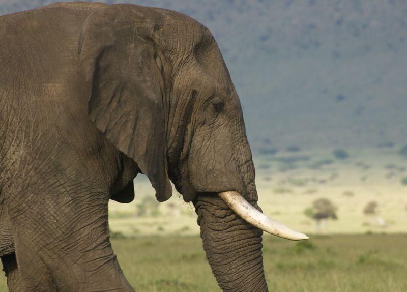 Elephant in the Masai Mara, Kenya