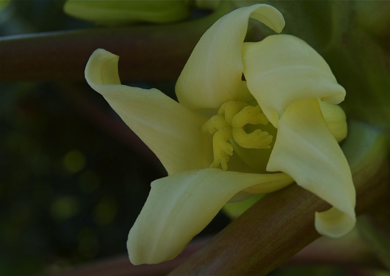 Papaya blossom