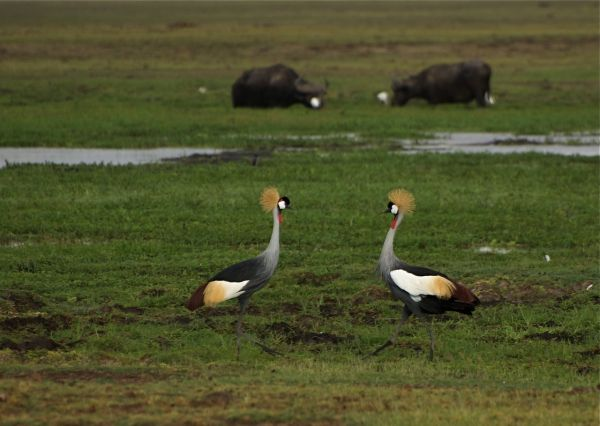 Crowned Cranes with Buffalo