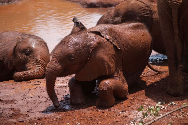 Nchan, an orphan elephant at the Sheldrick Trust