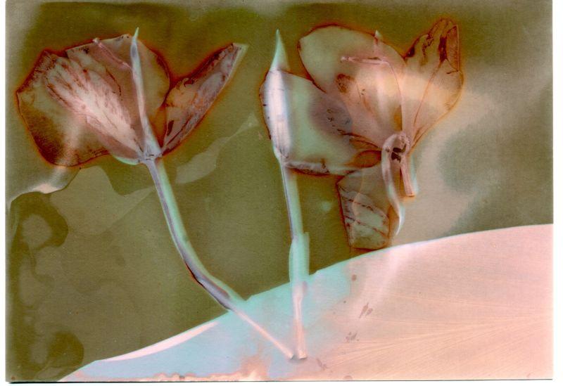 Lumen print of wild ginger flower