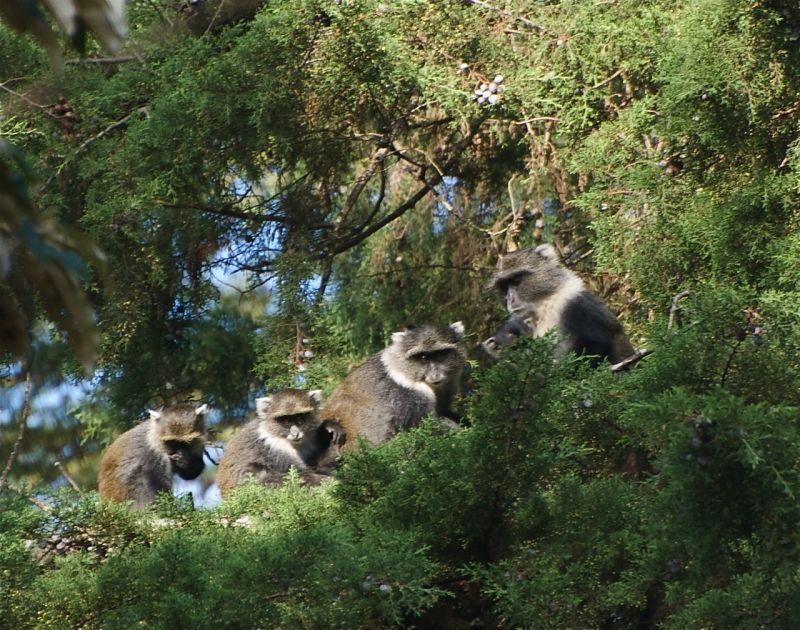 Family of Sykes monkeys, Nairobi