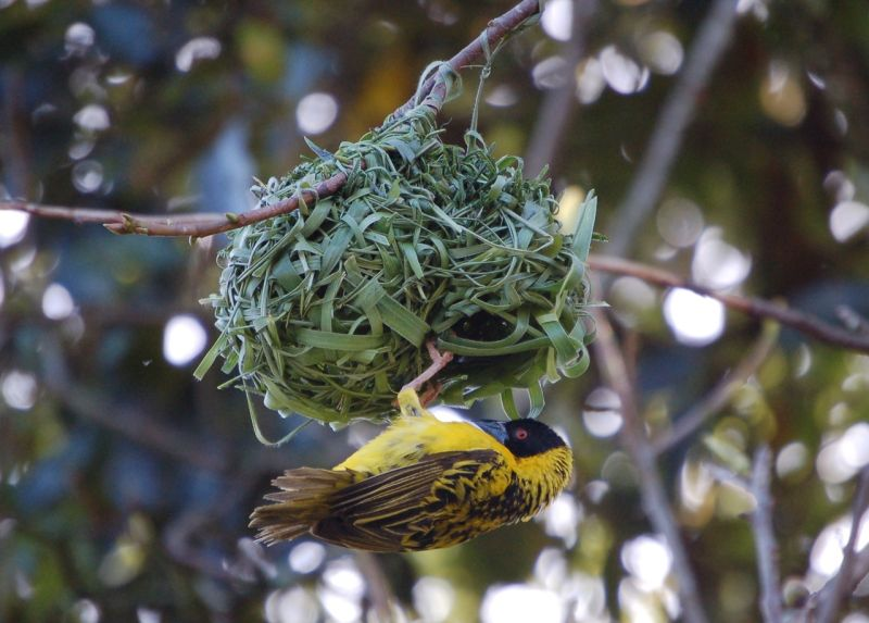 Male weaver bird, nest-building