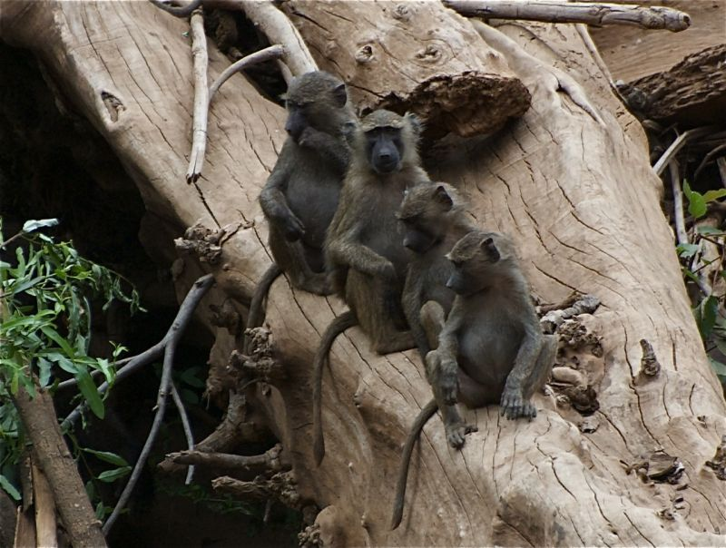 Four baboons, Shompole Conservancy, Kenya