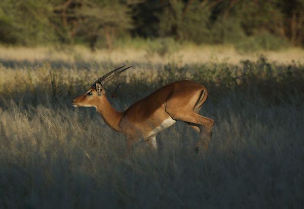 Startled female impala, Shompole Conservancy