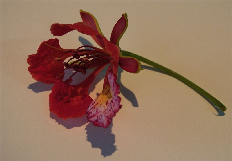 Flower of flamboyant tree, Nigeria