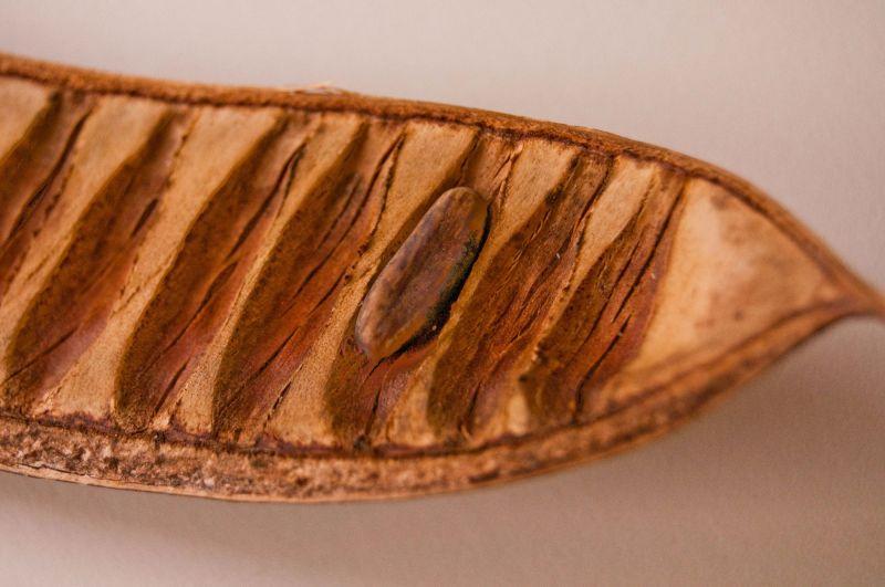 Seed pod of the Poiniciana tree, Nigeria