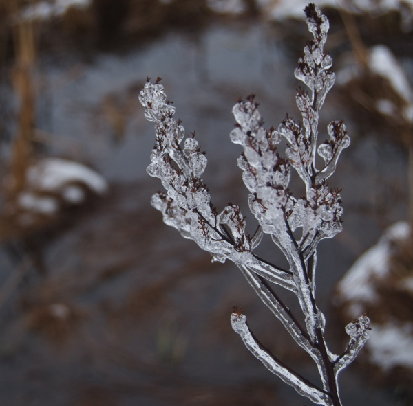 Ice-encased plant