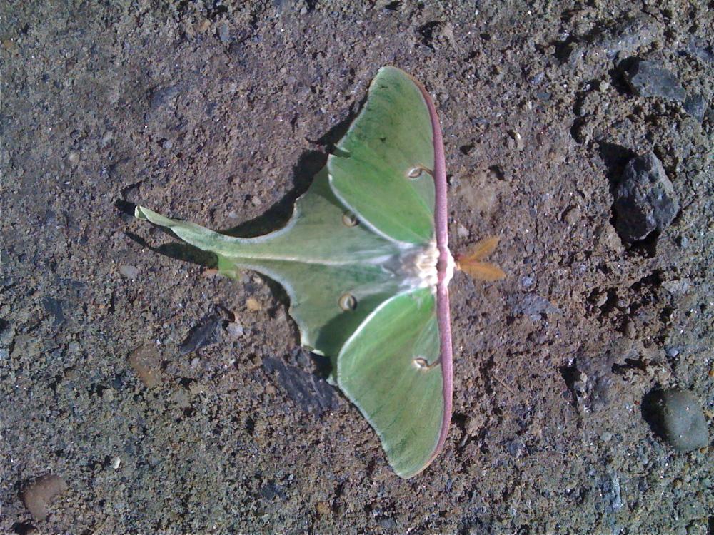 Luna moth, Massachusetts