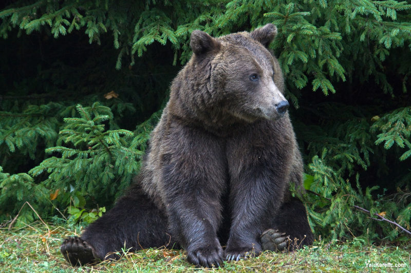 Wild Bear near Sinaia, Romania