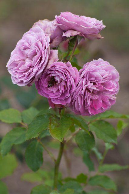 'Lavender Girl' Roses