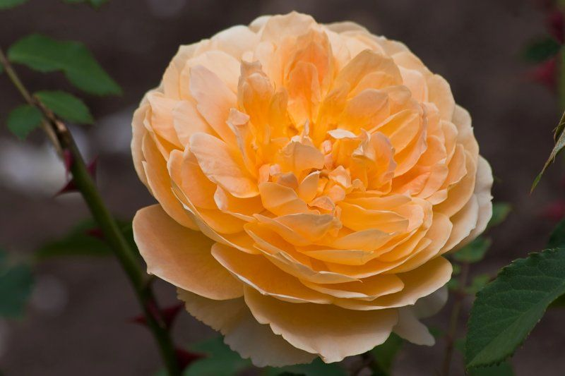 Rose 'Molineux'