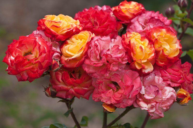 Rumba Roses
