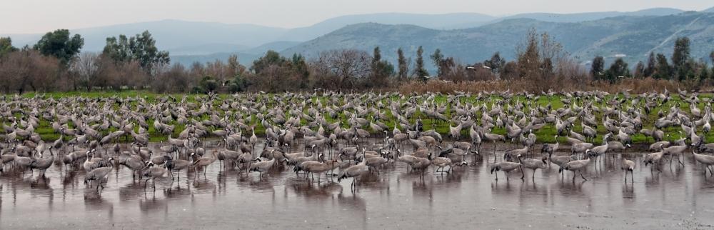 Cranes in Hula Lake, Israel