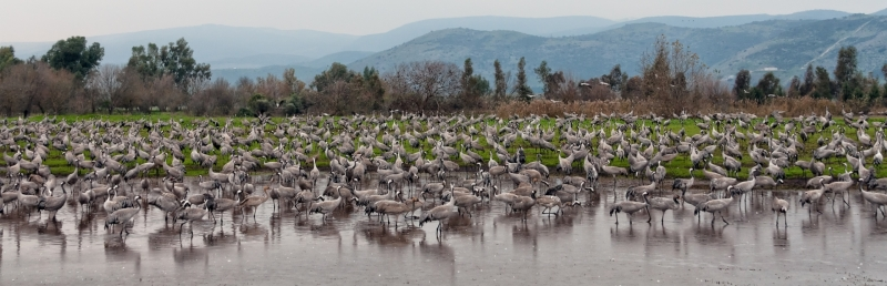 Cranes in Hula Lake, Israel