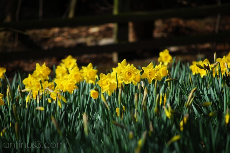 Spring daffodils in Durham botanical gardens