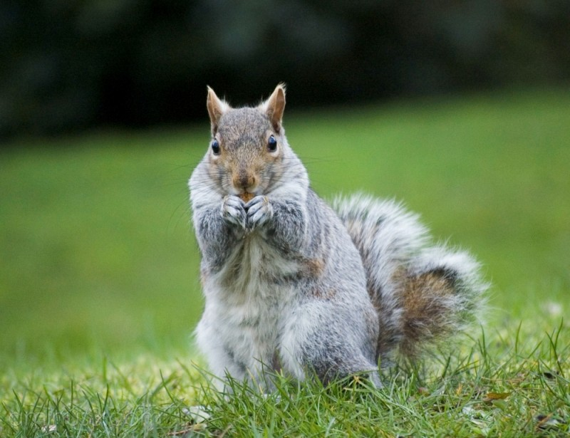 Grey squirrel in Sheffield Botanical Gardens