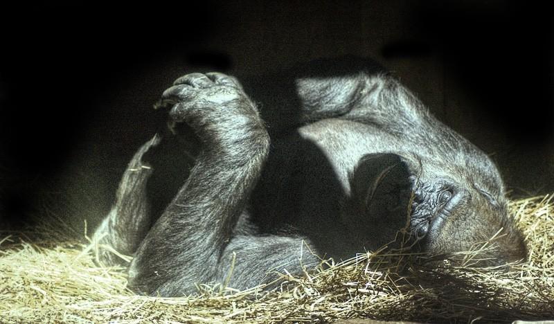 A sleeping gorilla