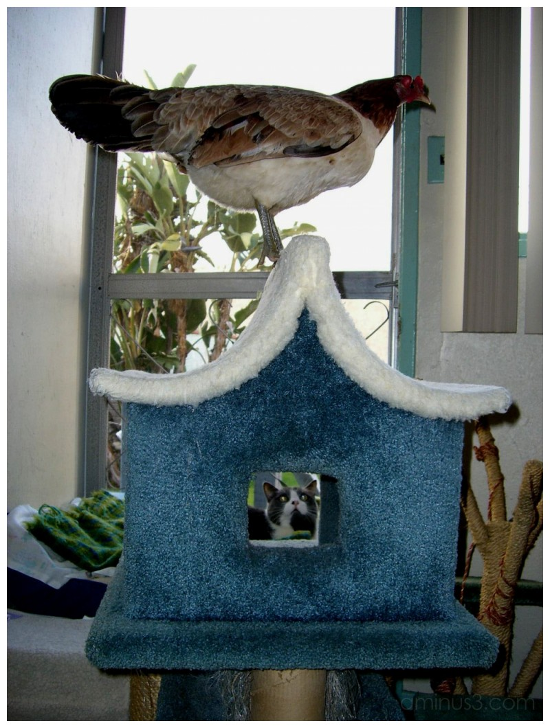Chicken on Cat's Pagoda......