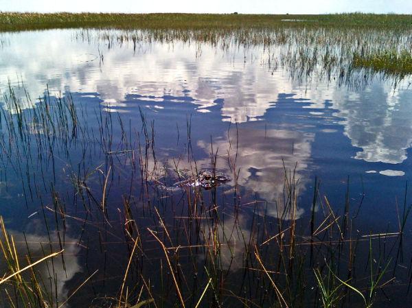 Alligator Fort Everglades...