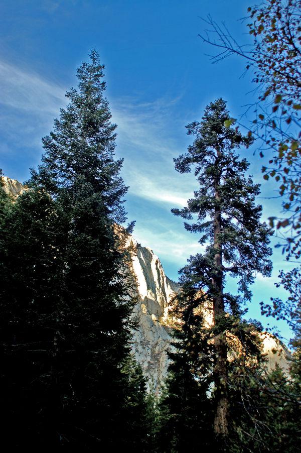 Big Pine Trees...