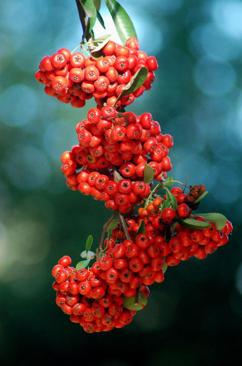 Toyon Berries..