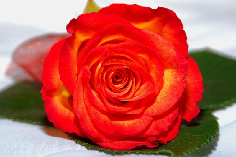 Red Rose....