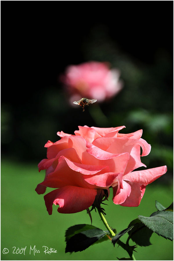 The Bee & the Rose