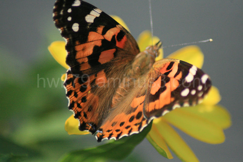 The butterfly that wouldn't sit still
