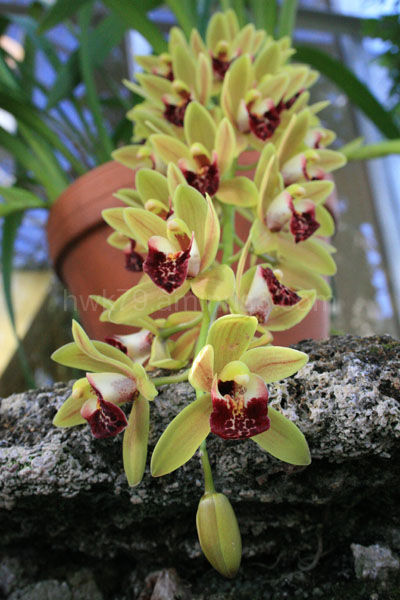Orchid Train