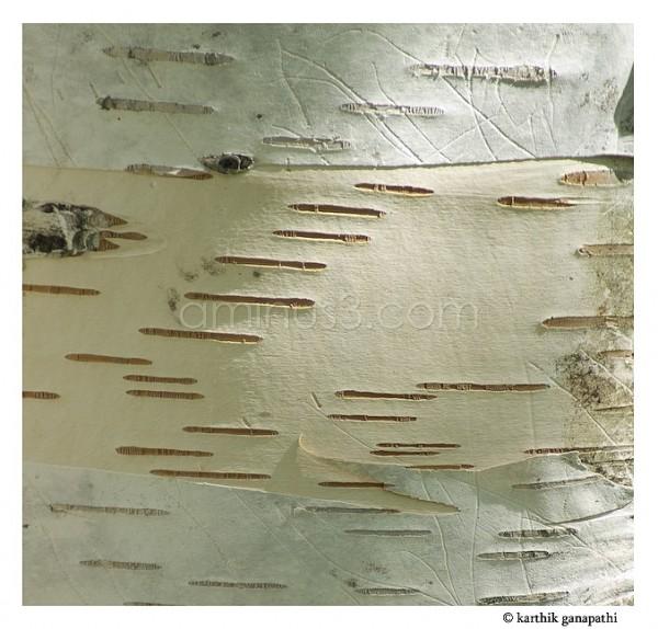 Birch Trunk image