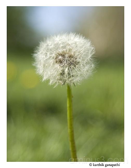 Dandelion, seed cluster