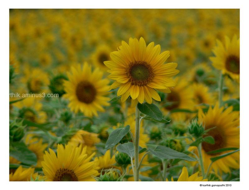 Sunflower, friendship trail