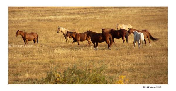 Horses, GTNP, WY