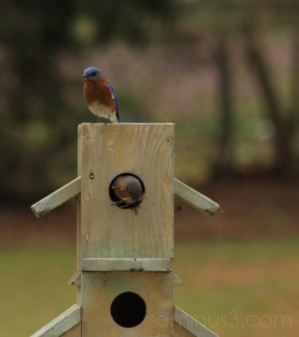 Blue Birds'