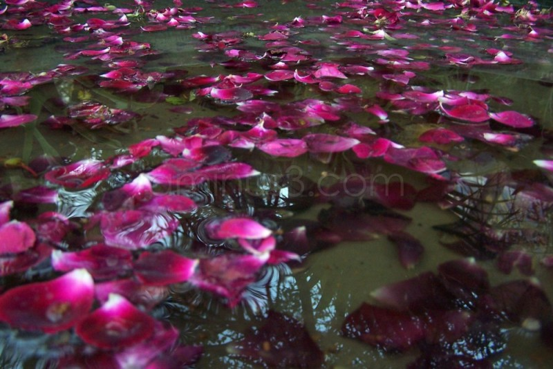 rose petals on water