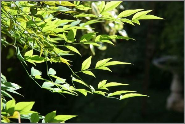 Nandine leaves