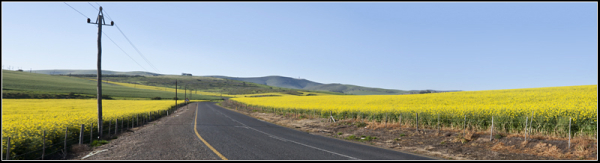 canola fields capetown