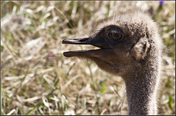 Female ostrich protecting her eggs