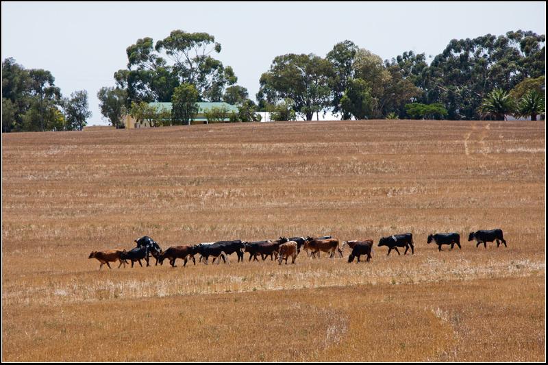 Summer day between Malmesbury and Paarl