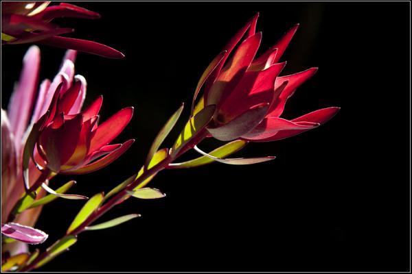Leucadendron Salignum